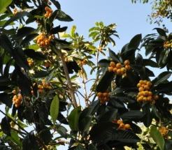 the loquat tree is full of fruity